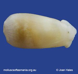 Ascobulla fischeri