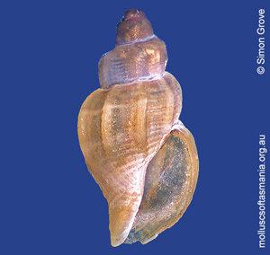 Asperdaphne bela