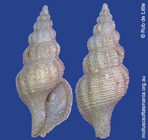 Asperdaphne sculptilis