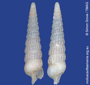 Ataxocerithium TAS sp 01