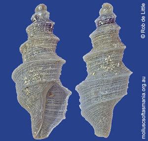 Austrocarina recta