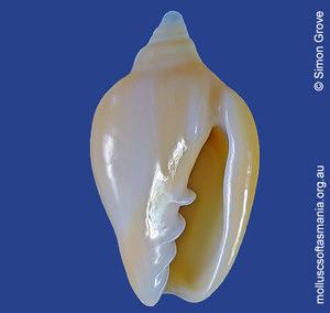 Austroginella muscaria