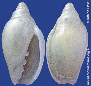 Austroginella praetermissa
