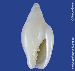 Austroginella tasmanica