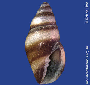 Austromitra weldii