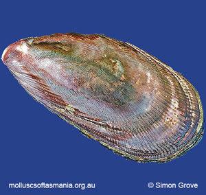 Austromytilus rostratus