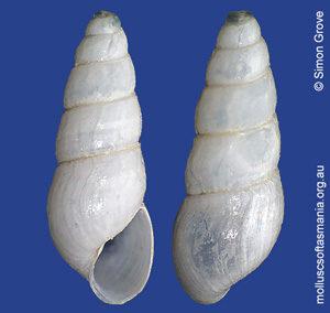 Austrorissopsis consobrina