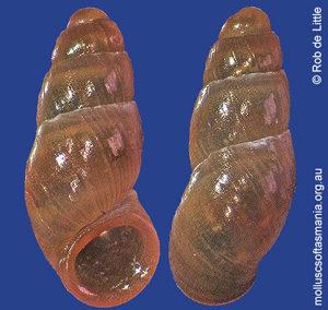 Badepigrus pupoideus
