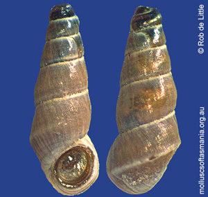 Badepigrus semicinctus
