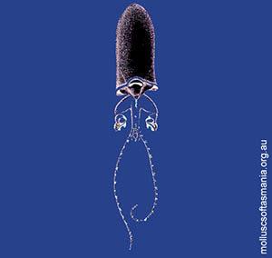 Bathothauma lyromma