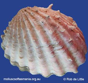 Bathycardita raouli
