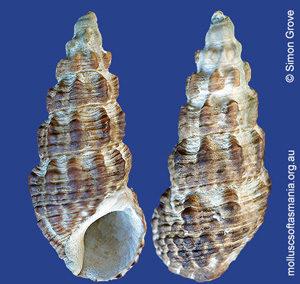 Batillaria australis